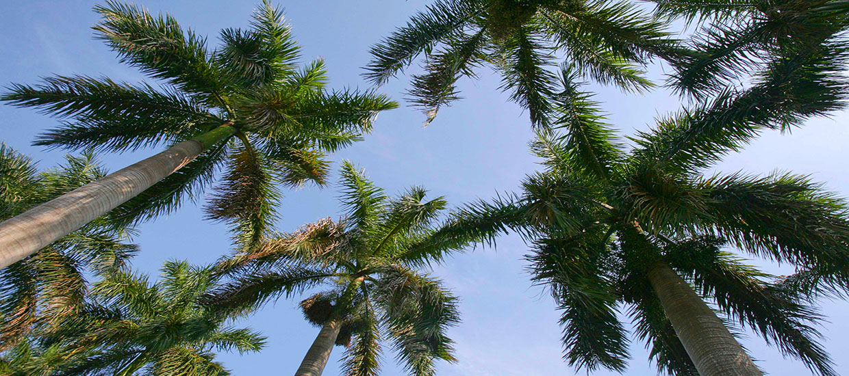 A photo of palm trees at the University of Miami Coral Gables campus.